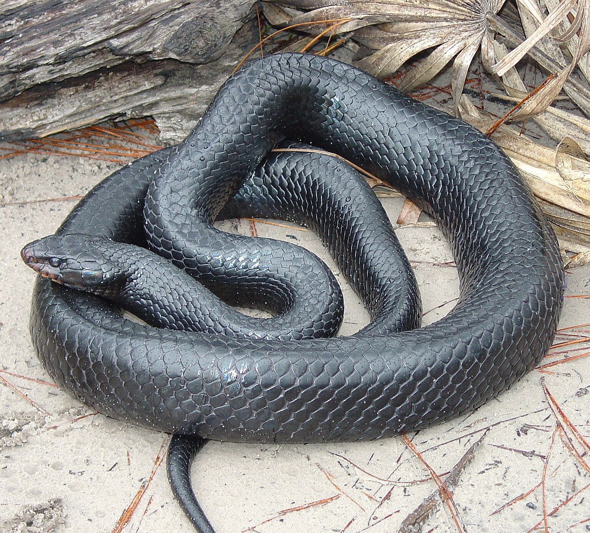 Alabama black snake 5 7