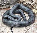 Eastern Indigo Snake.jpg