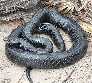 Eastern indigo snake species of reptile