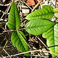 Eastern Poison Ivy (Toxicodendron radicans) (12694696594).jpg