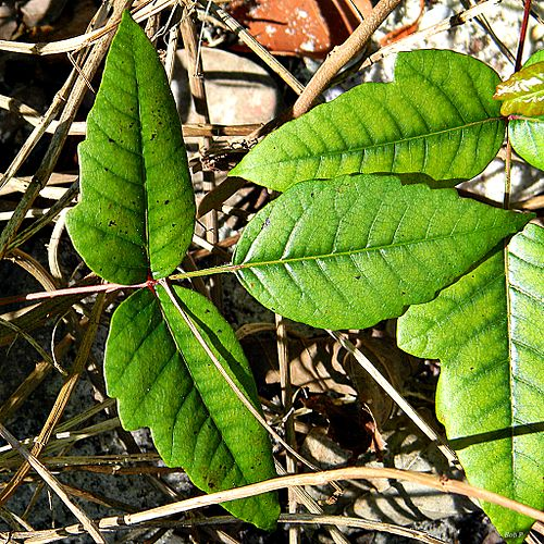 500px eastern poison ivy (toxicodendron radicans) (12694696594)