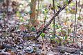 Eastern chipmunk (24908565261).jpg