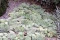 Echeveria elegans 0zz.jpg