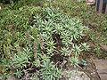 Echium acanthocarpum.jpg