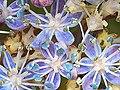 Echte Blüten der Hortensie.jpg