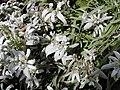 Edelweiss Urbanus.jpg