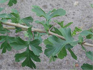Crataegus monogyna - Image: Eenstijlige meidoorn (Crataegus monogyna branch)