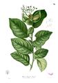 Ehretia acuminata Blanco1.70.png
