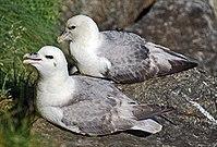 Eissturmvogel02