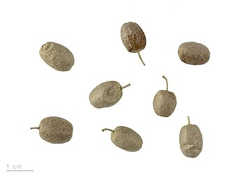 Elaeagnus angustifolia - Fruit in the Muséum de Toulouse
