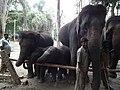 Elephant from Bannerghatta National Park 8669.JPG