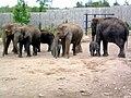Elephants (160557207).jpg