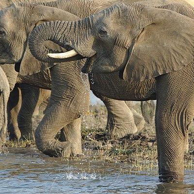 Elephants from Pilanesberg National Park last weekend-2 (26514681729).jpg