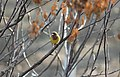 Emberiza bruniceps (12567921484).jpg
