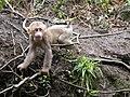 Emei shan baby macaque.JPG