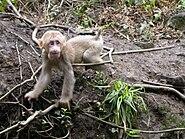 Emei shan baby macaque