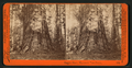Empire State, Mammoth Tree Grove, by Watkins, Carleton E., 1829-1916.png