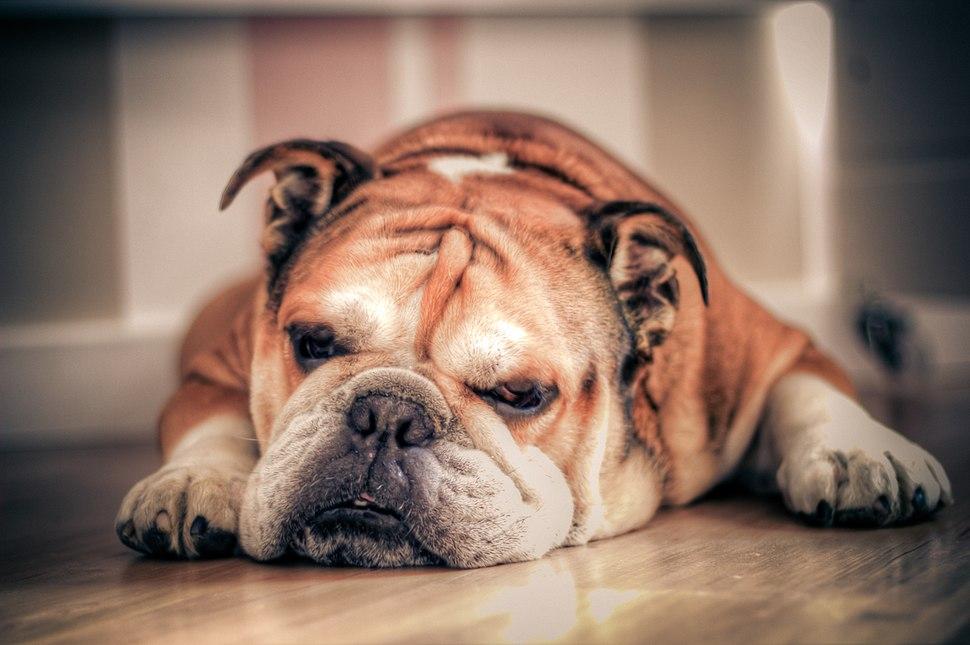 English Bulldog about to sleep