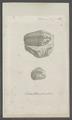 Entomolithus paradoxus - - Print - Iconographia Zoologica - Special Collections University of Amsterdam - UBAINV0274 099 01 0024.tif