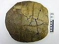 Eocene Turtle Fossil.jpg
