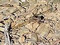 Epaulet skimmer (Orthetrum chrysostigma) 03.jpg
