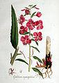 Epilobium angustifolium — Flora Batava — Volume v1.jpg
