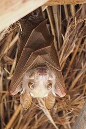 A bat with its wings wrapped around its body. Its eyes are tawny brown and prominent, and the sun shines through its ear membranes.