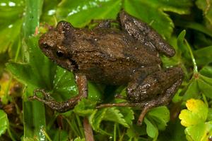 Ericabatrachus baleensis - Image: Ericabatrachus baleensis from Siu Ting et al. BMC Evol Biol 2014