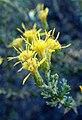 Ericameria ericoides kz4.jpg