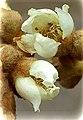 Eriobotrya japonica00.jpg