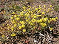 Eriogonum caespitosum (5006018125).jpg