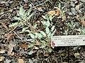 Eriogonum grande var. timorum - University of California Botanical Garden - DSC09006.JPG
