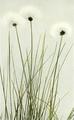 Eriophorum vaginatum WFNY-002A.png