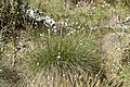 Eriophorum vaginatum kz15.jpg