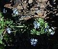 Eritrichium nipponicum and Rhodiola rosea.jpg