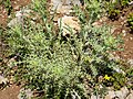 Eryngium campestre (31911067008).jpg