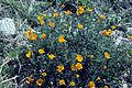 Eschscholzia californica02 WPC.jpg