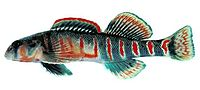 Etheostoma osburni