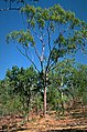 Eucalyptus kombolgiensis.jpg