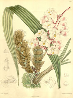<i>Eulophiella</i> Genus of orchids