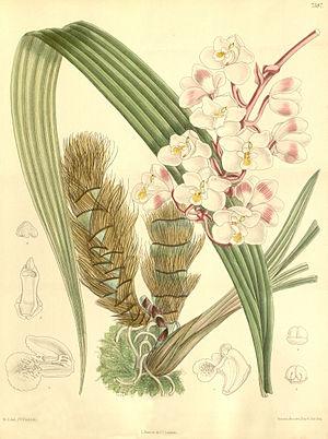 Eulophiella - Eulophiella elisabethae 1894 illustration from Curtis's Botanical Magazine