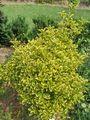 Euonymus japonicus aureo-marginatus.JPG