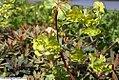 Euphorbia amygdaloides Craigieburn 0zz.jpg