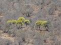 Euphorbia cooperi, Olifants.jpg