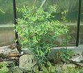 Euphorbia lathyris8 ies.jpg