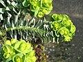 Euphorbia myrsinites flowers03.jpg