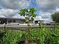 Euphorbia peplus plant3 (15059606108).jpg