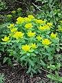 Euphorbia polychroma sl7.jpg