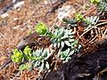 Euphorbia saxatilis sl3.jpg