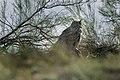Eurasian Eagle-Owl - Kazakistan S4E1976 (16099271769).jpg